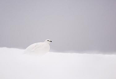Rock Ptarmigan (Lagopus mutus) adult female, white winter plumage, on snow covered ridge, Cairngorm Mountains, Highlands, Scotland, february  -  Andrew Parkinson/ FLPA