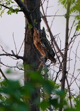 Oriental Scops-owl (Otus sunia stictonotus) adult, perched in tree, Hebei, China, may  -  Neil Bowman/ FLPA