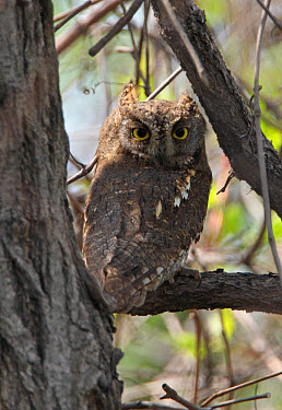 Oriental Scops-owl (Otus sunia stictonotus) adult, perched on branch, Hebei, China, may  -  Neil Bowman/ FLPA