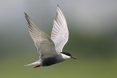 Whiskered Tern (Chlidonias hybridus) adult, breeding plumage, in flight, Mai Po, Hong Kong, China, april  -  John Holmes/ FLPA