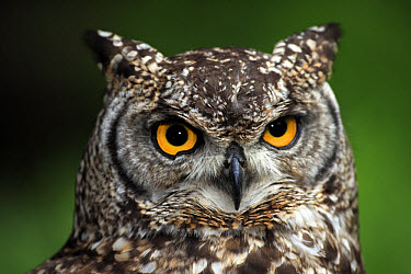 Spotted Eagle-owl (Bubo africanus) adult, close-up of head, South Africa  -  Jurgen and Christine Sohns/ FLPA