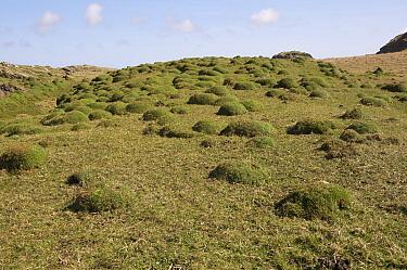 Thrift (Armeria maritima) domes in habitat, Saligo Bay, Islay, Inner Hebrides, Scotland, april  -  Michael Durham/ FLPA