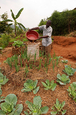 Farmer watering centre of keyhole vegetable garden growing onions and cabbages, used for extra water retention, Rwanda  -  Wayne Hutchinson/ FLPA