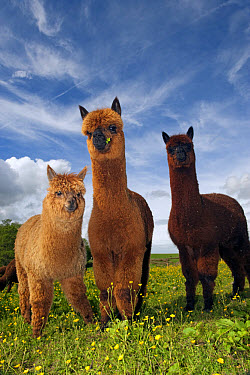 Alpaca (Lama pacos) yearling herd, standing in pasture, England, june  -  Wayne Hutchinson/ FLPA