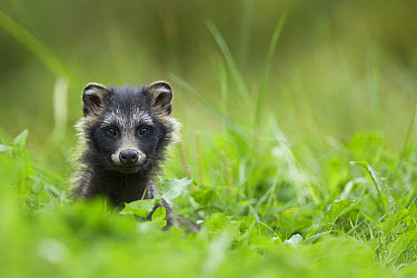 Raccoon-dog (Nyctereutes procyonoides) introduced species, adult, alert, standing on bank, Finland, august  -  Mark Sisson/ FLPA