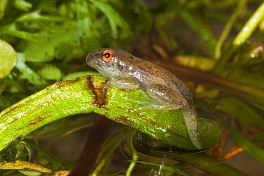 Spotted Reed Frog (Hyperolius puncticulatus) metamorphosing froglet (Gosner), on stem above water, Tanzania  -  Chris Mattison/ FLPA