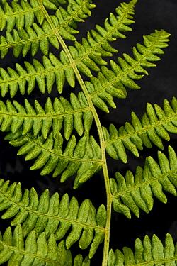 Bracken (Pteridium aquilinum) close-up of fronds, England, june  -  Wayne Hutchinson/ FLPA
