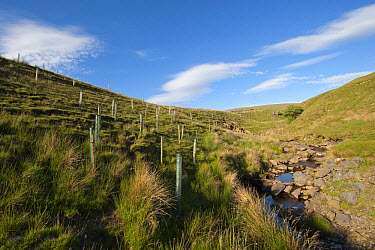Newly planted trees, protected with plastic sleeves, planted on moorland habitat to encourage Black Grouse, Cumbria, England, june  -  Wayne Hutchinson/ FLPA