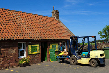 Farmer with forklift, supplying farm shop with bags of potatoes, Dunbar, East Lothian, Scotland, may  -  Wayne Hutchinson/ FLPA