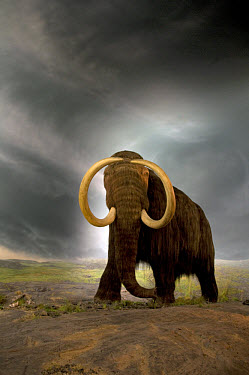 Woolly Mammoth (Mammuthus primigenius) display in museum, Royal BC Museum, Victoria, British Columbia, Canada  -  Mark Newman/ FLPA