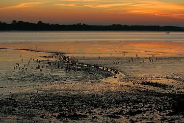 Brent Goose (Branta bernicla) flock, on estuary habitat at sunset, Brightlingsea, Essex, England, november  -  Bill Baston/ FLPA