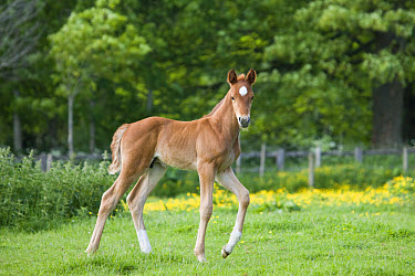 Horse, young foal, walking in paddock, Oxfordshire, England, may  -  Sean Hunter/ FLPA
