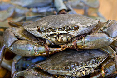 Serrated Swimming Crab (Scylla serrata) adults, with claws tied-up, for sale, Palawan Island, Philippines, may  -  Nicholas and Sherry Lu Aldridge/