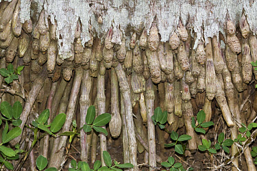 Royal Palm (Roystonea sp) close up of roots growing into ground, Palawan Island, Philippines, may  -  Nicholas and Sherry Lu Aldridge/