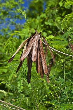 Ipil-ipil (Leucaena glauca) close-up of ripe seedpods, hanging from tree, Palawan Island, Philippines, may  -  Nicholas and Sherry Lu Aldridge/