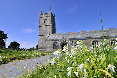 Three-cornered Leek (Allium triquetrum) flowering, naturalised in churchyard, Cornwall, England, may  -  Gary K Smith/ FLPA