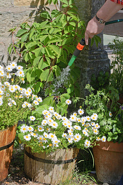 Watering garden flowers in containers with hosepipe, England, june  -  John Eveson/ FLPA
