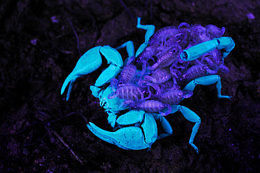 Italian Scorpion (Euscorpius italicus) adult female with newborn babies on back, under UV light, Italy  -  Fabio Pupin/ FLPA