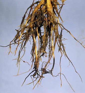 Common root rot (Cochliobolus sativus) discolouration of wheat sub crown internode  -  Nigel Cattlin/ FLPA