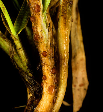 Speckled snow mould or snow rot (Typhula incarnata) sclerotia on young tillering barley plant  -  Nigel Cattlin/ FLPA