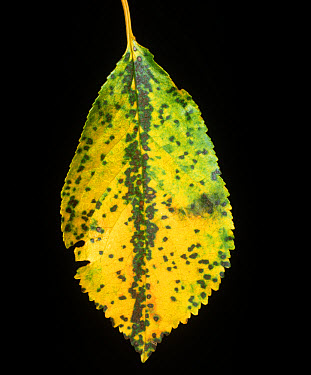 Cherry leaf spot (Coccomyces hiemalis) lesions on a sour cherry leaf, USA  -  Nigel Cattlin/ FLPA