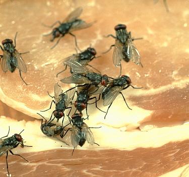 House flies (Musca domestica) feeding on bacon meat  -  Nigel Cattlin/ FLPA