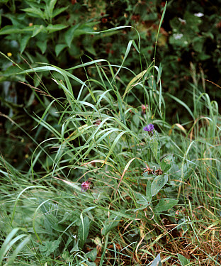 Couch grass (Agropyron repens) a tenacious and perennial grass weed in a garden flower border  -  Nigel Cattlin/ FLPA