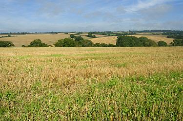Cereal stubble post harvest beginning to green up with volunteer crop, Devon  -  Nigel Cattlin/ FLPA