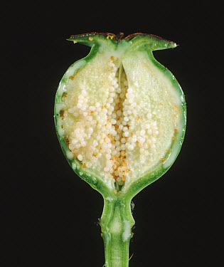 A cut section of the seedpod of an opium poppy (Papaver somniferum) showing unripe seeds, the sap from which opium is extracted, and the outer case of the  -  Nigel Cattlin/ FLPA