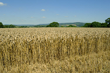 Close up of cut face of ripe wheat crop on a fine summer day  -  Nigel Cattlin/ FLPA