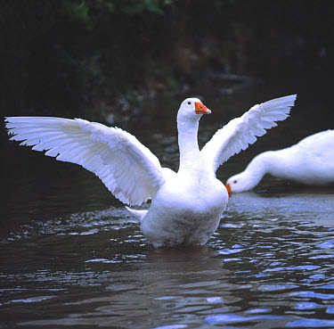 A white domestic goose stretching it's wings  -  Nigel Cattlin/ FLPA