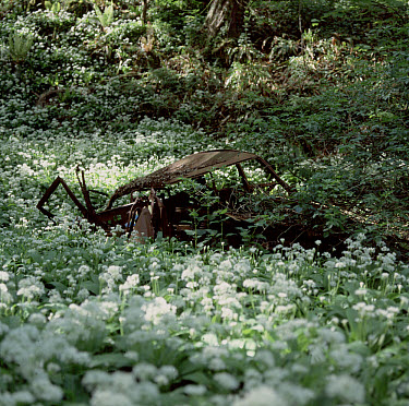Flowering wild garlic or ramsons (Allium ursinum) flowering profusely in spring woodland know as Witches Wood, Branscombe, Devon with old and rusting car clo  -  Nigel Cattlin/ FLPA