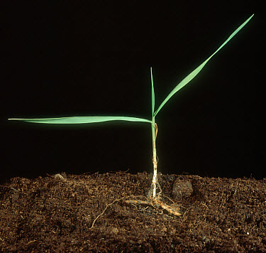 Couch or twitch grass (Agropyron repens) shoot from fragmented rhizome  -  Nigel Cattlin/ FLPA