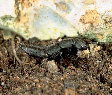 A rove beetle, the devil's coach horse (Staphylinus olens) feeding on a woodlouse. These beetles are natural pest predators  -  Nigel Cattlin/ FLPA