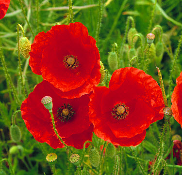 Red flowers of the corn poppy (Papaver rhoeas) famous for its association with World War and Flanders and Remberance Day in Britain. It is also an impor  -  Nigel Cattlin/ FLPA