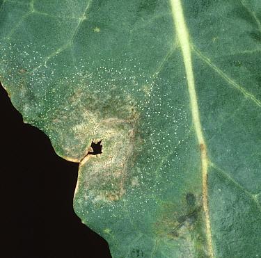Light leaf spot (Pyrenopeziza brassicae) lesion on oilseed rape leaf (colza, canola)  -  Nigel Cattlin/ FLPA