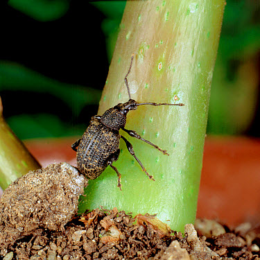 Close up of adult vine weevil (Otiorhynchus sulcatus) climbing a plant stem after hatching from a pupa in the soil. Vine weevils are  -  Nigel Cattlin/ FLPA