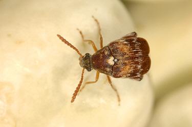 Adzuki bruchid (Callosobruchus chinensis) adult pest on dried peas in store  -  Nigel Cattlin/ FLPA