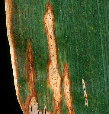 Anthacnose (Colletotrichum graminicola) lesions with pycnidia on a maize or corn leaf  -  Nigel Cattlin/ FLPA