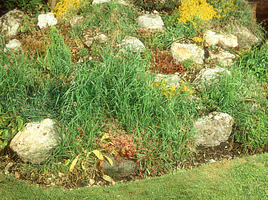Couch grass (Agropyron repens) infesting rockery and flower beds in a garden  -  Nigel Cattlin/ FLPA