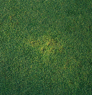 Yellow patch (Rhizoctonia cerealis) patch on golf putting green grass  -  Nigel Cattlin/ FLPA