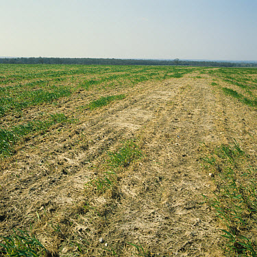 Pink snow mould (Michrodochium nivale) destroying and overwintering wheat crop after snow  -  Nigel Cattlin/ FLPA