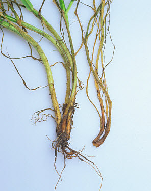 Barley seedlings infected with pink snow mould (Michrodochium nivale)  -  Nigel Cattlin/ FLPA
