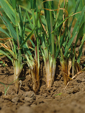 Common root rot (Cochliobolus sativus) browning at the bases of young barley plants  -  Nigel Cattlin/ FLPA