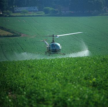 Helicopter aerial spraying flowering pea crop, Hampshire  -  Nigel Cattlin/ FLPA