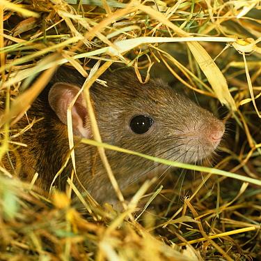 Brown rat (Rattus norvegicus) head poking out from hay  -  Nigel Cattlin/ FLPA