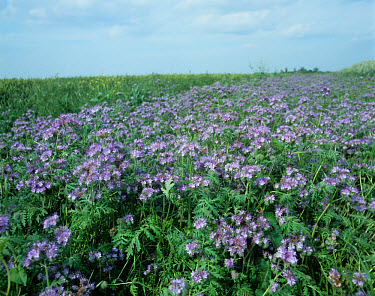 Wheat crop heradland plant with Phacelia to promote predators and provide protection for them  -  Nigel Cattlin/ FLPA