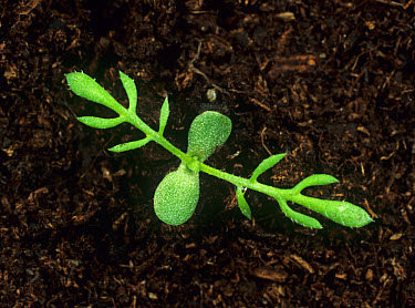 Stinking mayweed (Anthemis cotula) seedling cotyledons and first two true leaves  -  Nigel Cattlin/ FLPA