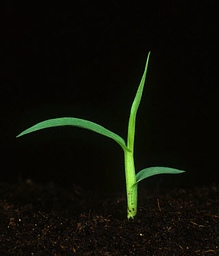 Large crabgrass (Digitaria sanguinalis) seedling plant  -  Nigel Cattlin/ FLPA