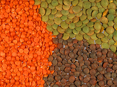 Red, green and brown lentils prepared for cooking  -  Nigel Cattlin/ FLPA